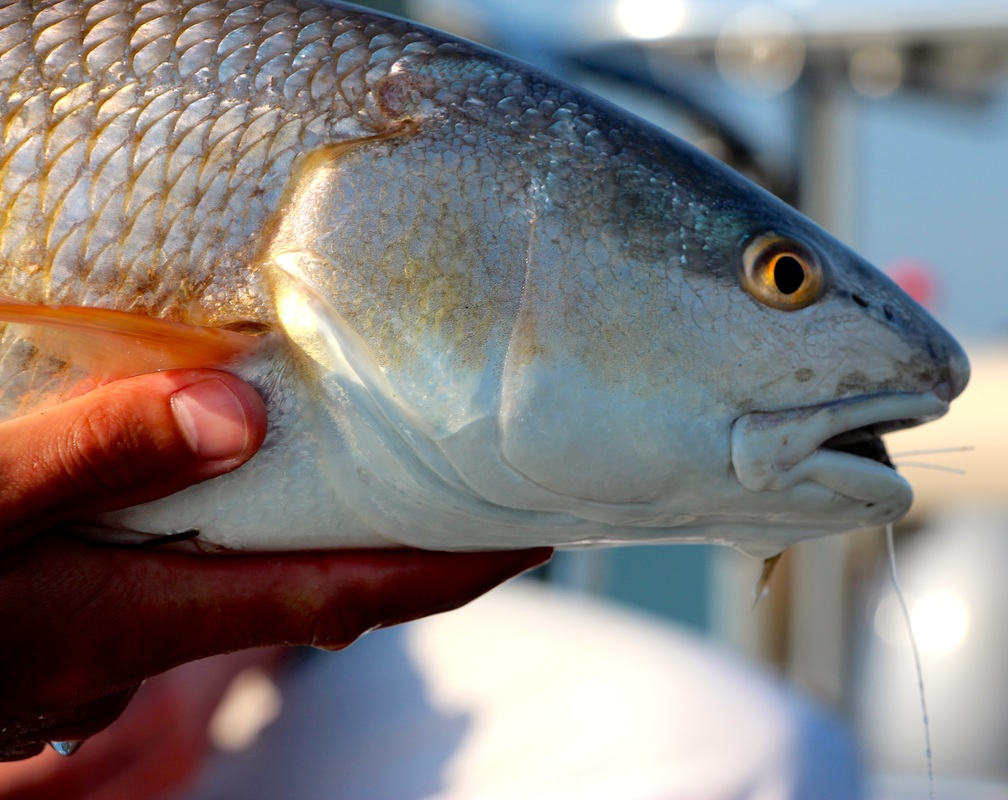 Sight fishing Redfish in Hilton Head and Beaufort South Carolina